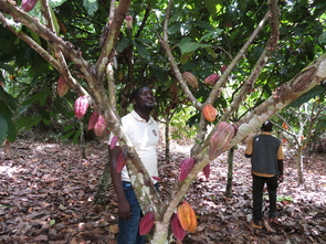 Romain Aka, a World Cocoa Foundation Fellow from Cote d'Ivoire who trained with Judy Brown in the UA Plant Sciences lab on a USDA fellowship,  collects survey samples from cacao trees in his home country. (Photo courtesy of Judy Brown)