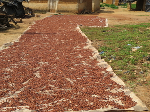 Each cocoa pod yields about 40 cocoa beans, which are spread out and dried before being shipped for chocolate production. (Photo courtesy of Judy Brown)