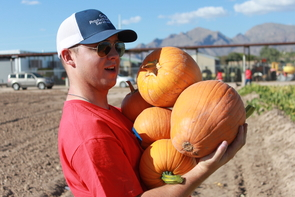 Agriculture technology management major Tyler Bowen juggles an armload of pumpkins. (Photo by Gabrielle Fimbres)
