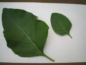 The biomass of Withania, a medicinal plant, is about five times greater in aeroponically-grown plants, as noted in the contrasting leaf sizes above. (Click to enlarge)