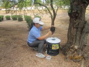 A UA researcher checks a mosquito trap in Maricopa County. (Photo courtesy of Shujuan Li)