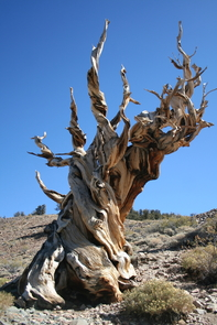 Charlotte Pearson and her colleagues used two different tree-ring chronologies from long-lived trees that were alive at the time of the Thera eruption, including bristlecone pines in California and Nevada. (Photo: Charlotte Pearson)