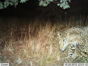 Automatic wildlife cameras snapped this photo of a male jaguar on a nightly walk in the Santa Rita Mountains on Oct 25. (Photo: USFWS/UA/DHS)