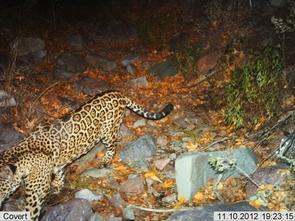 Researchers can identify individual jaguars by their unique rosette pattern. (Photo: USFWS/UA/DHS)