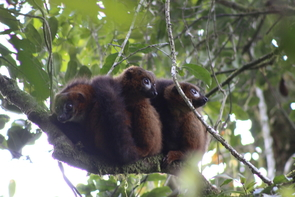It's common for red-bellied lemur family members to gather together in a close huddle. (Photo: Jean Baptiste Velontsara)
