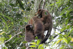 A family of red-bellied lemurs feeds together in the trees. (Photo: Lahitsara Jean Pierre)