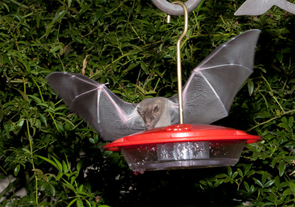 A lesser long-nosed bat visits a hummingbird feeder in Tucson. Citizen-scientist monitoring of bat activity at hummingbird feeders contributed to data that supported the recovery of the once-endangered lesser long-nosed bat. (Courtesy of Richard Spitzer)