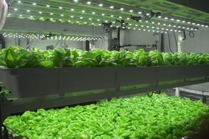 Lettuce is grown in a floating raft hydroponics system at the UAg Farm, which is sponsored by the UA Water, Environmental and Energy Solutions Program and Controlled Environment Agriculture Center, with in-kind support provided by industry collaborators Illumitex, HortAmericas, IndoorHarvest, Civic Farms, Enza Zaden and Grodan. (Photo courtesy of Murat Kacira)