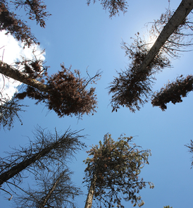 Looking up into pine trees infested with pine beetles at Fraser Experimental Forest. (Photo: David Moore/UA School of Natural Resources and the Environment)
