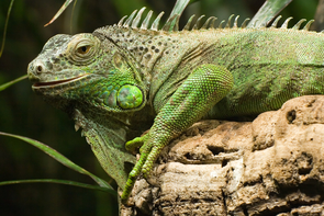 Iguanians evolved much more recently than previously thought, the new study showed. (Photo: Christian Mehlführer/Wikimedia Commons)