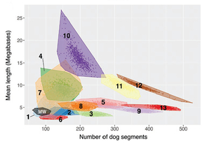 Researchers simulated what the Mexican wolf genome would look like if no hybridization with domestic dogs occurred or if hybridization took place recently or many generations in the past. The observed Mexican wolf genome (MW) mostly closely matched with the model of no hybridization with domestic dogs (1). (Courtesy of Bob Fitak)