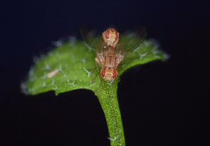 A plant-insect model system: Scaptomyza flava flies mating on Arabidopsis leaf. (Photo: Noah Whiteman)