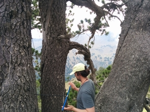 UA geosciences doctoral student Matthew Meko cores a Bosnian pine. He was part of the 2016 expedition that determined that a Bosnian pine is the oldest known living tree in Europe. (Photo: Soumaya Belmecheri/UA Laboratory of Tree-Ring Research)