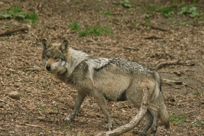 Research has verified the genetic purity of the endangered Mexican wolf, which is being reintroduced to its native habitat and living wild in places such as the Sevilleta National Wildlife Refuge in New Mexico. (Photo: Jim Clark/U.S. Fish and Wildlife Service)