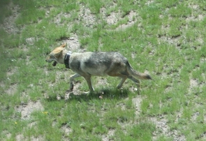 A captive breeding program has brought the Mexican wolf from the brink of extinction to current population estimates of no fewer than 114 Mexican wolves living in the wild. The breeding of such a small population brings with it genetic concerns such as the purity of the genome and outside hybridization. (Photo: U.S. Fish and Wildlife Service)