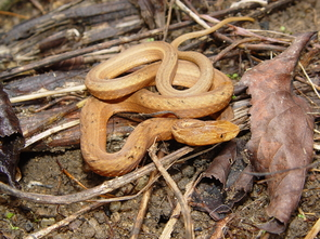 A Common Mock Viper, native to Asia. Snakes are among the more diverse groups of vertebrates, with nearly 3,000 species found worldwide. (Photo: John Wiens)