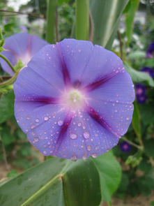 Morning glory (Ipomoea purpurea), a beautiful flowering plant and agricultural weed. (Photo: Lindsay Chaney/Brigham Young University)