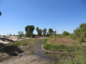The light green plants that line the channel are cottonwood and willow seedlings that have sprouted since the pulse flow of water to the Colorado River Delta in spring 2014. The photo was taken four months after the pulse flow ended. This site, below Morelos Dam, was cleared of non-native vegetation and graded to promote river flow by the Sonoran Institute before the start of the pulse flow. (Photo: Karl W. Flessa, UA Department of Geosciences)