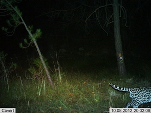 This male ocelot was photographed by automatic wildlife cameras in the Huachuca Mountains on Oct 8. (Photo: USFWS/UA/DHS)