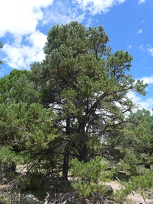 One of Ida's interests is in the properties of drought-ridden pinyon pine wood. (Photo: Aletheia Ida)