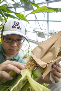 Junpeng Zhan, graduate student in plant sciences, examines seed set on the ear of the maize plant. After pollination, he cuts kernels off the cobs, dissects cells from the seed and analyzes their gene expression networks. (Photo: Lynn Ketchum)