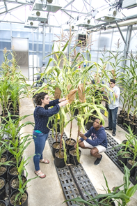 Students inspect maize plants in the 6th Street greenhouse while monitoring the progress of their genetic experiments. From left foreground: Daniela Gutierrez, microbiology, and Pierce Longmire, molecular and cellular biology; background: Tricia Ramsay, biochemistry and molecular and cellular biology with with plant sciences minor,  and Ali Shareef, molecular and cellular biology. (Photo: Lynn Ketchum)
