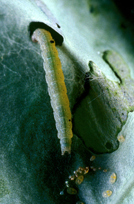 A diamondback moth caterpillar crawling on a leaf. (Photo: Marshall Johnson/University of California, Riverside)