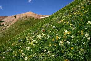 Over the course of 39 years, the flowering season at the study site has expanded by more than a month, driven by earlier snowmelt and a warming climate. (Photo: David Inouye)