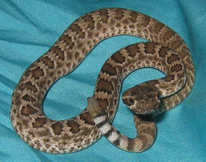 Baby rattlesnakes are born in July and August and are active.