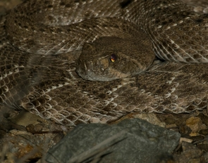 Arizona has 13 different species of rattlesnakes. (Photo: Daniel Stolte/UANews)