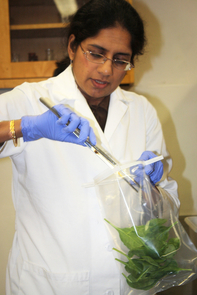 Sadhana Ravishankar, an assistant professor in the UA's department of veterinary science and microbiology, prepares leafy greens for microbial analysis. (Photo by Beatriz Verdugo/UANews)