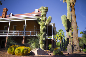 The crested saguaro on the northeast side of Old Main replaced one that was considered a UA campus icon. (Photo: Bob Demers/UANews)