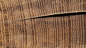 Dendrochronology, the science of analyzing the growth rings of trees to reconstruct the past, was invented at the UA. (Photo: LTRR)