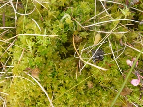 The UA research team has observed that a type of moss, called Sphagnum, has been decreasing over the growing season. (Photo courtesy of Rose Vining)