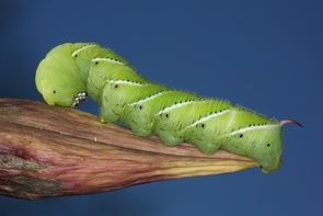 The caterpillars of the tobacco hornworm moth (Manduca sexta) can rival an adult index finger in size. (Photo: Daniel Schwen/Wikimedia Commons)