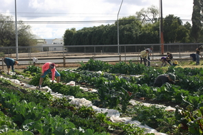 Tucson Village Farm is committed to practicing integrated farming techniques and stewardship of the land. All TVF produce is grown herbicide- and pesticide-free. (Photo: Tucson Village Farm)
