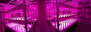 Vertical farming operations often use energy-efficient LED lighting, which can be provided to plants in specific colors to photosynthesis. (Photo courtesy of Murat Kacira)