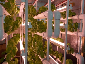 Basil grows under flourescent lighting in a prototype of the V-Hive Green Box, which Joel Cuello patented with the help of Tech Launch Arizona. They are now working together to commercialize the V-Hive. (Photo courtesy of Joel Cuello)