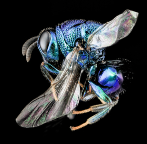 Perilampid parasitic wasp (Photo: USGS Bee Inventory and Monitoring Lab)