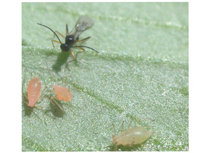 A parasitoid wasp, Aphidius ervi, stalks pea aphids to lay her eggs inside them. The wasp is a tad bigger than 0.01 inches long. Credit: 2005 Kerry M. Oliver)