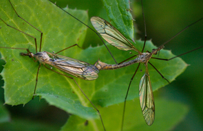 Once crane flies mate, they have fulfilled their life goal and die. (Photo: Daniel Stolte/UANews)