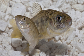 Desert pupfish, native to Arizona, are raised at the Phoenix Zoo's Arizona Center for Nature Conservation for release to the wild. (Photo: Craig Cohen/ACNC-Phoenix Zoo)