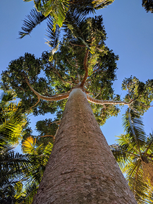 The 1KP project included Agathis robusta, a conifer from the Royal Botanic Gardens Sydney. (Photo: Mike Barker)