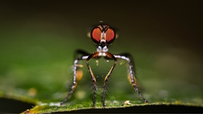 Assassin flies (family Asilidae) are aggressive predators that feed on a variety of insects. (Photo: Cristian Román-Palacios/University of Arizona)