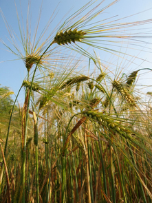 Sequencing the barley genome helps scientists tackle the largest genome of the cereal crops: wheat. (Photo: Dag Endresen)