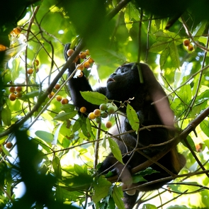 A monkey having a snack in a Panama forest in 2012. (Courtesy: Brian Enquist)