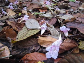 Tabebuia flowers and leaf litter on the forest floor of Panama. (Courtesy: Brian Enquist)