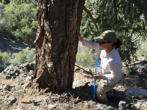 Co-author Erica Bigio takes a core sample of a live tree in the California's San Gabriel Mountains. (Courtesy of David Meko)