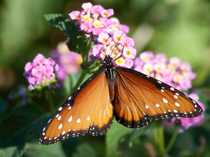 Insects are a group in which feeding on plants increases rates of species proliferation, including among the butterflies and moths, which are almost all herbivorous (Photo: Daniel Stolte/UANews)