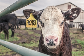 Young livestock, such as beef or dairy calves, are particularly susceptible to Crypto, which is a crucial zoonotic disease that can become a major public health and veterinary concern.